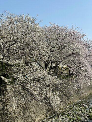 静岡で見た桜